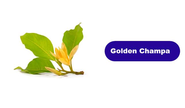 Golden Champa